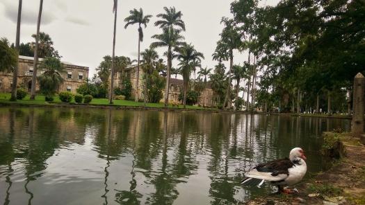ducks-at-codrington-college